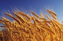 Wheat crop ready for harvest, close-up, Australia