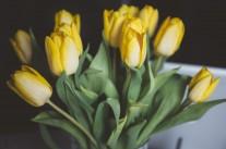 tulips-1208205_1920